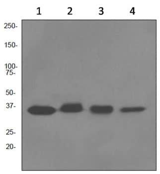 Western blot - Cyclin H antibody [EPR3929] (ab92376)