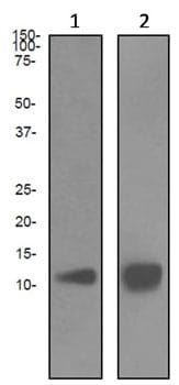 Western blot - Estrogen Inducible Protein pS2 antibody [EPR3972] (ab92377)