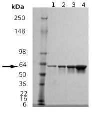 SDS-PAGE - Hsp60 protein (ab92411)