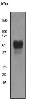 Western blot - Anti-Oct-2 [EPR542] antibody (ab92458)