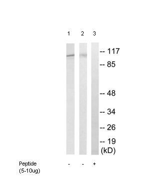 Western blot - EFTUD2 antibody (ab92479)