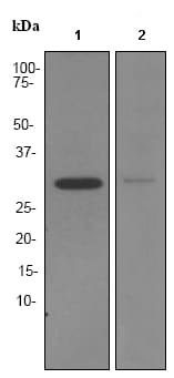 Western blot - BNP antibody [EPR3735] (ab92500)