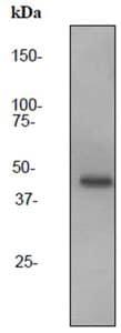 Western blot - CD72 antibody [EPR3571] (ab92509)