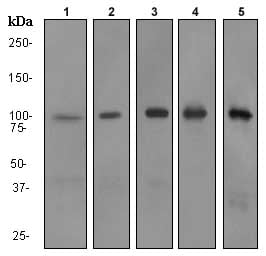Western blot - RIAM antibody [EP2806] (ab92537)