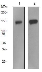 Western blot - Pumilio 1 antibody [EPR3795] (ab92545)