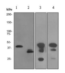 Western blot - Cardiac Troponin T antibody [EPR3696] (ab92546)