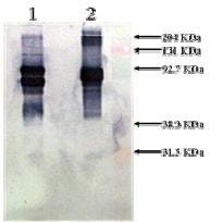 Western blot - Vitronectin protein (Biotin) (Human) (ab92639)