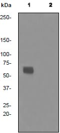 Western blot - AMPK alpha 1 (phospho S487) antibody [EPR3051] (ab92701)