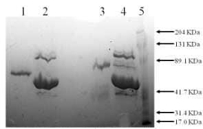 SDS-PAGE - TPA Tissue Plasminogen Activator protein (Active) (ab92715)