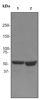 Western blot - Tryptophanyl tRNA synthetase antibody [EPR3424] (ab92733)