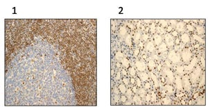 Immunohistochemistry (Formalin/PFA-fixed paraffin-embedded sections) - APE1 antibody [EPR4022] (ab92744)