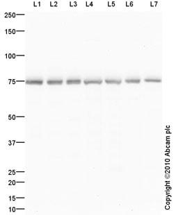 Western blot - Grp75 antibody (ab92808)