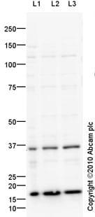 Western blot - Anti-Caspase-7 antibody (ab92842)