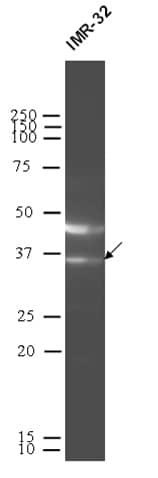 Western blot - MDH2 antibody (ab92867)