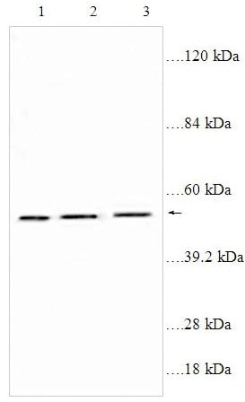 Western blot - Thromboxane A2 receptor antibody (ab92883)