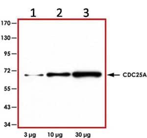 Western blot - Cdc25A antibody (ab92892)