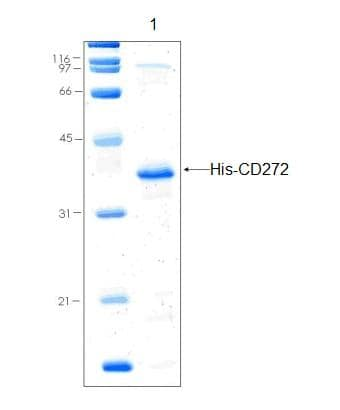 SDS-PAGE - CD272 protein (His tag) (ab92923)