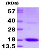 SDS-PAGE - PTS protein (His tag) (ab92928)