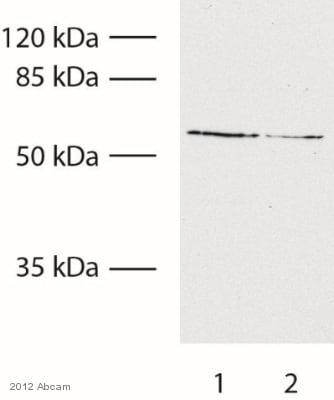 Western blot - Anti-TRP2 antibody (ab92995)