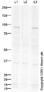 Western blot - Glucocorticoid Receptor (phospho S226) antibody (ab93104)