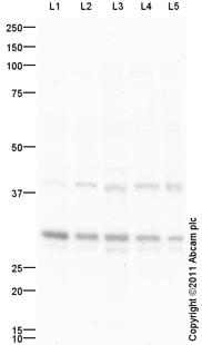 Western blot - Anti-Nkx2.2 antibody (ab93188)