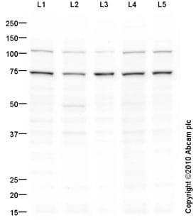 Western blot - PSMD1 antibody (ab93208)