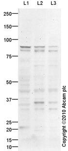 Western blot - Semaphorin 3A antibody (ab93255)