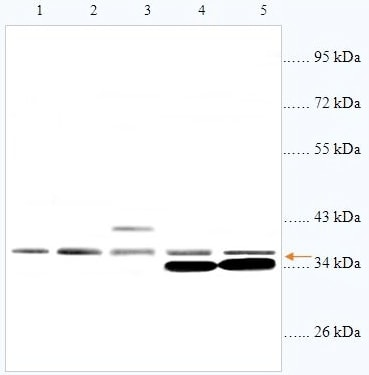 Western blot - CD57 antibody (ab93482)