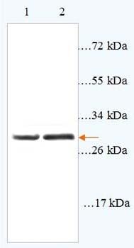 Western blot - TAPA1 antibody (ab93485)