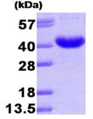 SDS-PAGE - AKR7A3 protein (His tag) (ab93635)