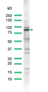 Western blot - MALT1 antibody (ab93661)