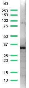Western blot - SOX2 antibody [SP76] (ab93689)