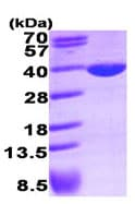 SDS-PAGE - LDHA protein (His tag) (ab93699)