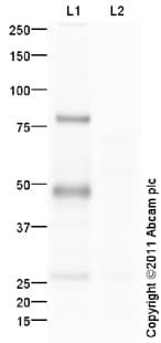 Western blot - IRF8 antibody (ab93718)