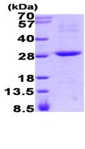 SDS-PAGE - RGS16  protein (His tag) (ab93733)