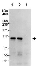 Immunoprecipitation - KAT13D / CLOCK antibody (ab93804)