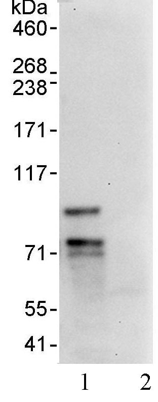 Immunoprecipitation - FOXP1 antibody (ab93807)