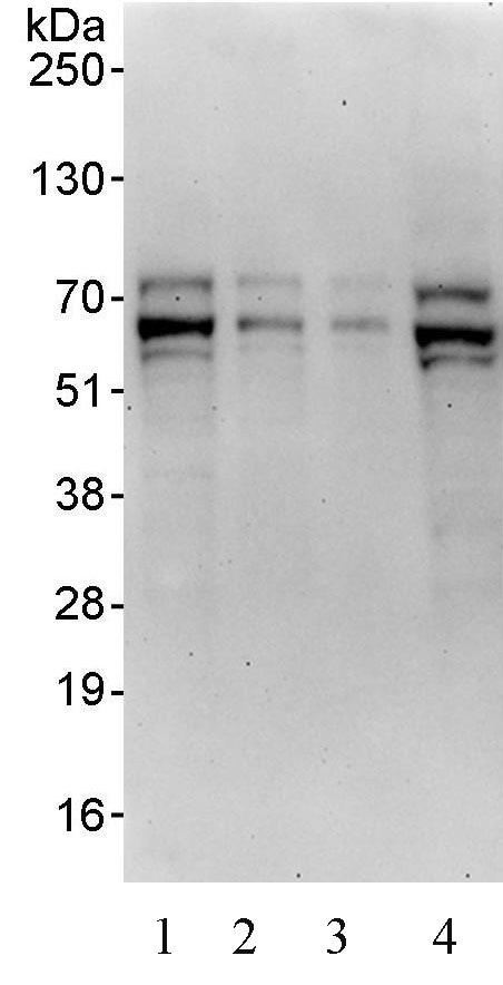 Western blot - TFE3 antibody (ab93808)