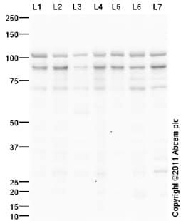 Western blot - EWSR1 antibody (ab93837)