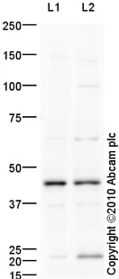 Western blot - ILF2 antibody (ab93838)