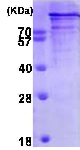 SDS-PAGE - Chromogranin B protein (Tagged-His Tag) (ab93930)