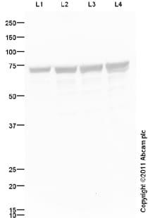 Western blot - Thrombomodulin antibody (ab94373)