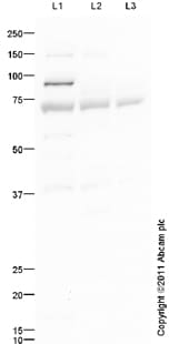 Western blot - IL1 Receptor I antibody (ab94393)