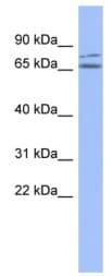 Western blot - ZNF791 antibody (ab94398)