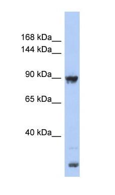 Western blot - URG4 antibody (ab94428)
