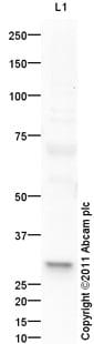 Western blot - 14-3-3 sigma antibody (ab94490)