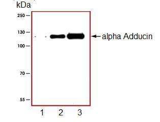Western blot - alpha Adducin antibody (ab94514)