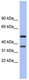 Western blot - EIF2S1 antibody (ab94587)