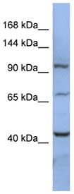 Western blot - RBM12 antibody (ab94595)