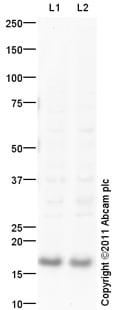 Western blot - CDKN2A/p16INK4a  antibody (ab94619)